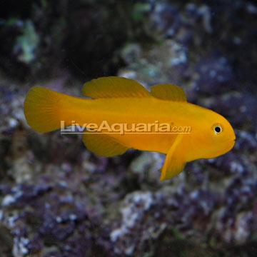 Saltwater Aquarium Fish for Marine Aquariums: Clown Goby, Yellow