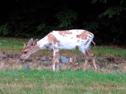 Rare spotted deer in Wilderness Rim area of North Bend. Taken by Miranda Sumner