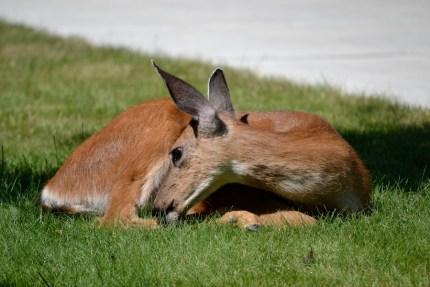 Deer taking a rest in a Snoqualmie Ridge lawn. Photo by Lea Goodwin