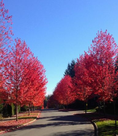 Fall color on Snoqualmie Ridge, October 2013