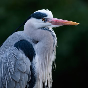 21 Facts on Grey Heron   Tweetapedia   Living with Birds 21 Facts On Grey Heron I1