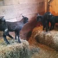 Gotland Lamb Antics