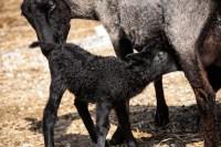 Kajsa Gotland Ewe Lamb