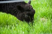 Gotland lamb grazing