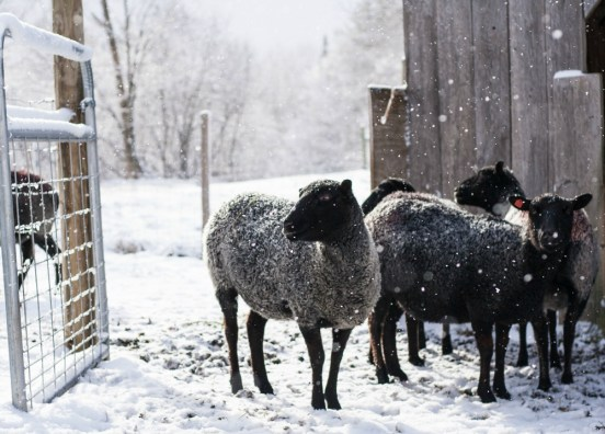 Gotlands at VT Grand View Farm