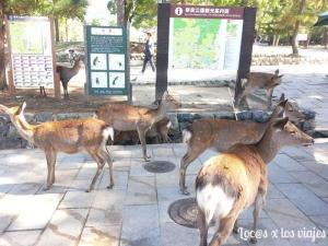 ciervos_en_Nara