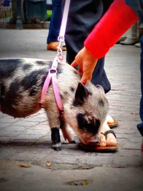 Pig at Parroquía