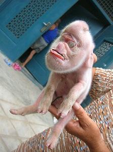 monkey pig