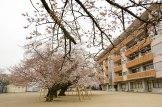 真鍋小学校の桜
