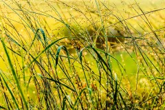grasses--0007