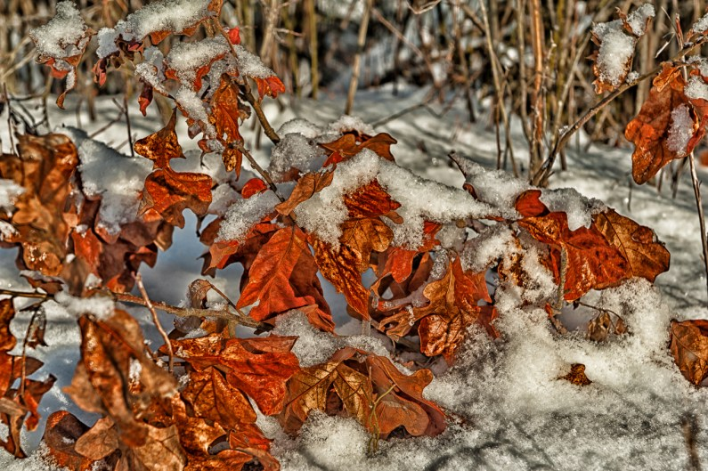 leaves-with-snow-ltd-6210
