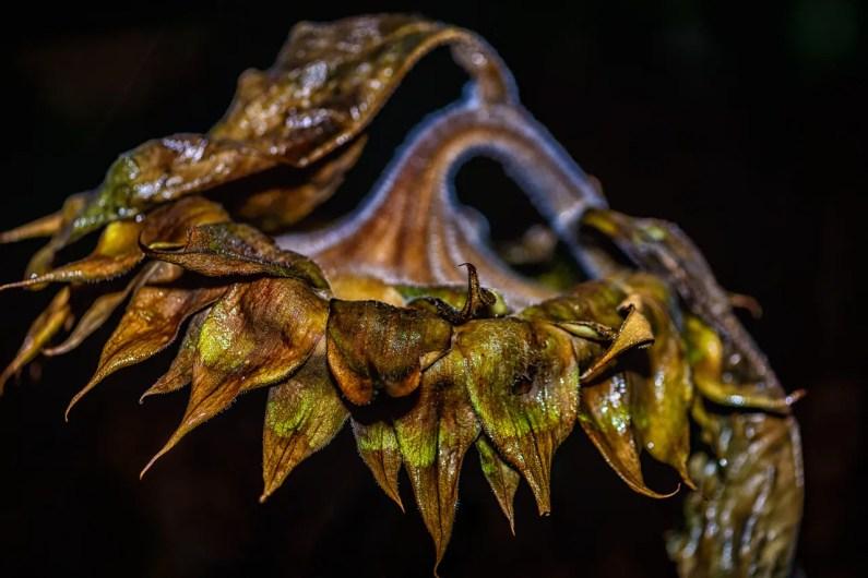 sunflower-ldallara-DSC4254