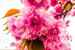 pink_flowering_trees-4