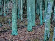 Silent Cedars