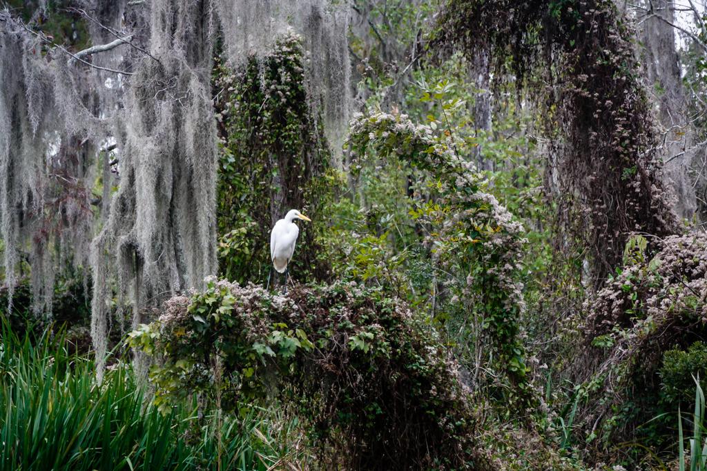 honey island swamp egret louisiana