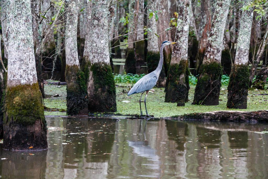 honey island swamp louisiana blue egret-2