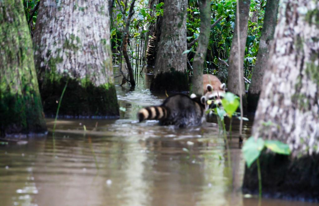 honey island swamp raccoon-3