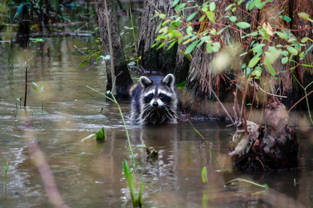 honey island swamp raccoon