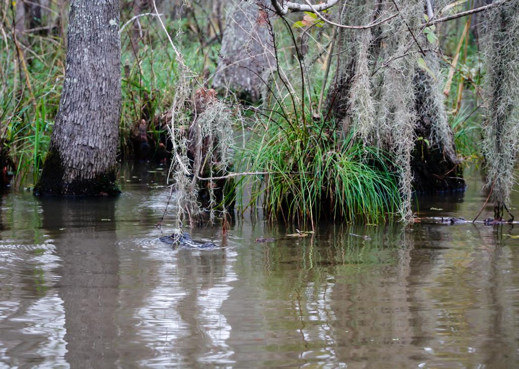 swamp louisiana aligator-2