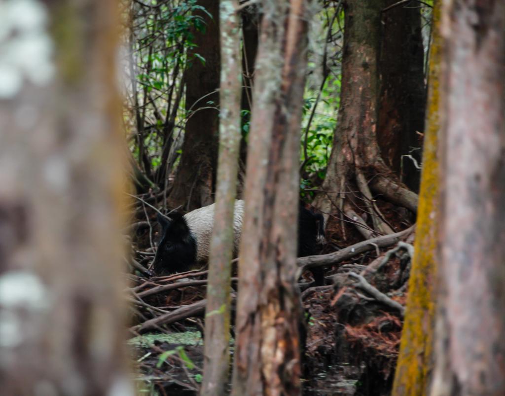 swamp louisiana baby pig honey island_