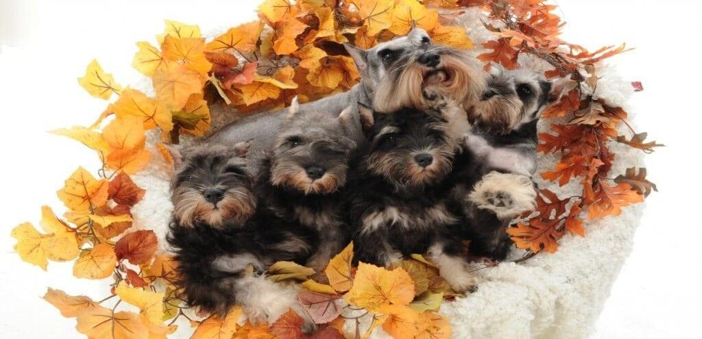 Miniature Schnauzer Puppies, Vanna and Puppies