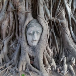 buddha-tree-roots