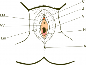 Vulva_hymen_miguelferig