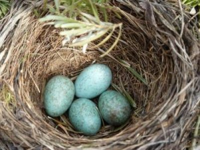 blackbird-nest-2206124_640