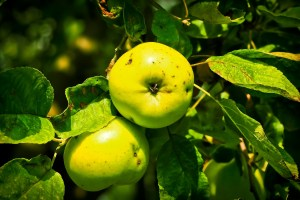 apple-1612580_1280