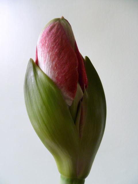 amaryllis suocera e nuora