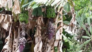 Il mio primo incontro con una pianta di banane basiliane
