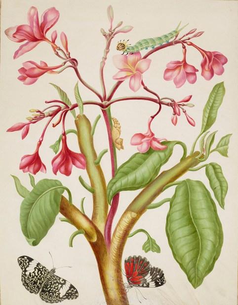 Metamorphosis Insectorium Surinamensium