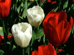 Snazzy Ottawa Friendship Tulip Gardens Role Canadian Siers Played Hospitality Canada Provided To Dutch Royal Family Nerlands Liberation