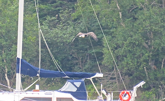 Abundant fish, surrounding mountains and dense forests make the perfect home for this eagle. He as a freshly swooped on fish in his talons and is headed for suitable perch to eat it.