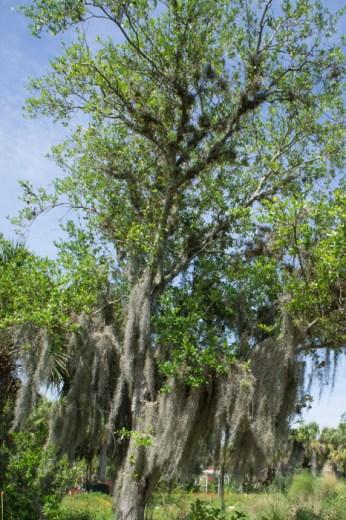 Arbre Spanish Moss - Naples Botanical Garden - Floride