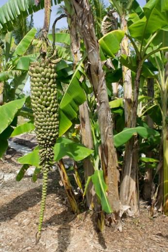 Bananes - Naples Botanical Garden - Floride