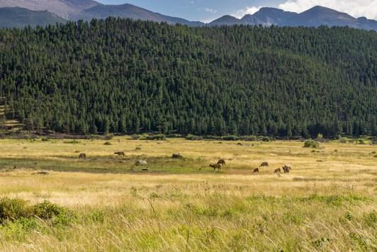 Rocky Mountain National Park - des cerfs dans la prairie