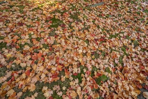Mount Auburn cemetery feuilles mortes