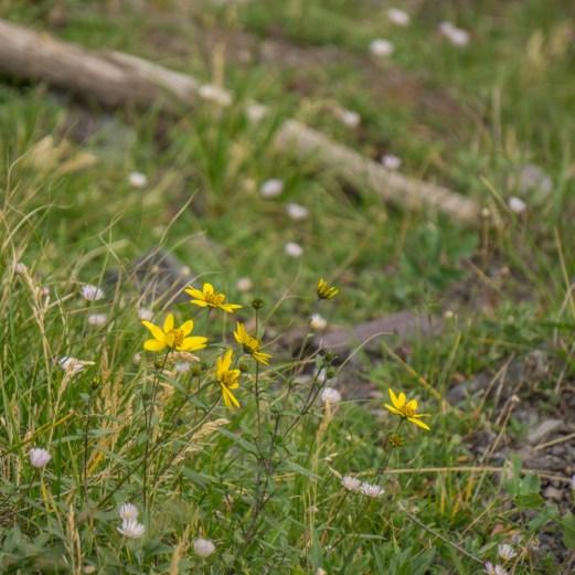 Colorado road trip - petite fleur jaune des montagnes