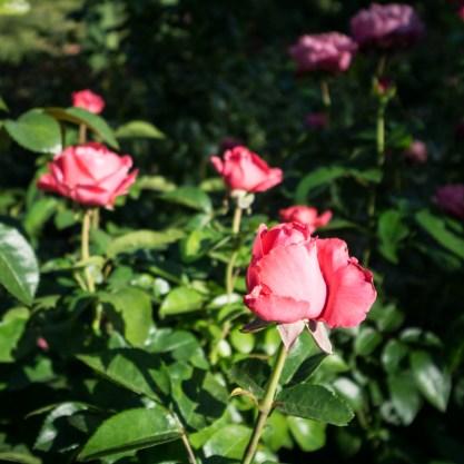 jardin des roses portland-oregon-16