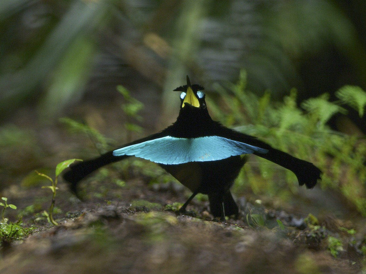 Dance Moves Support Evidence for New Bird of Paradise Species     Superb Bird of Paradise Lophorina superba      Tim Laman ML 62128001