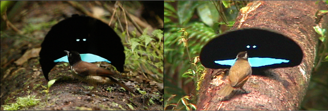 New bird of paradise species discovered    Dear Kitty  Some blog The raised cape of the newly discovered western male  left  is crescent  shaped and