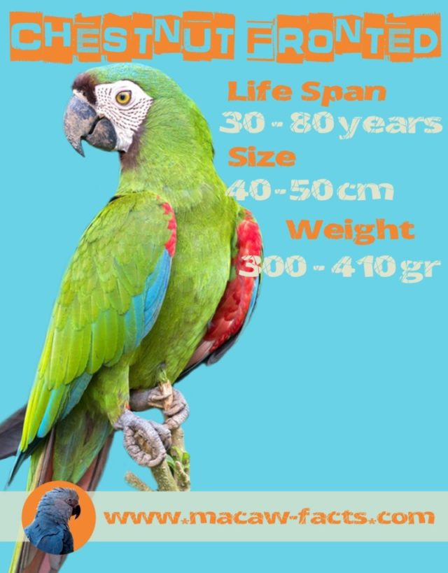 severe macaw lifespan size weight facts Ara severus