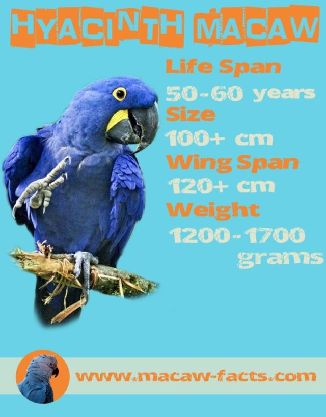 hyacinth macaw blue macaw span wing span size weight