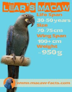 Lears macaw facts life span size weight wing span Indigo macaw