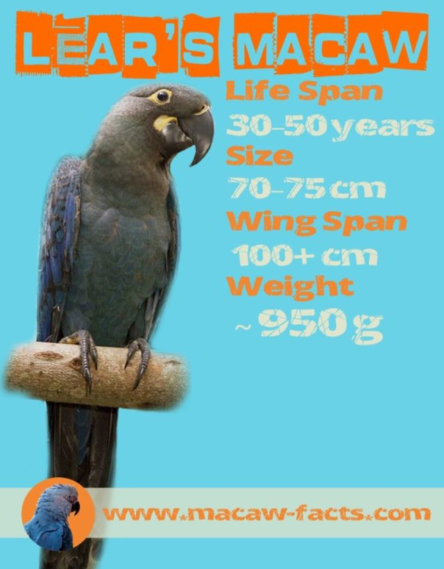 Lears macaw facts life span size weight wing span Indigo macaw Lear's Macaw