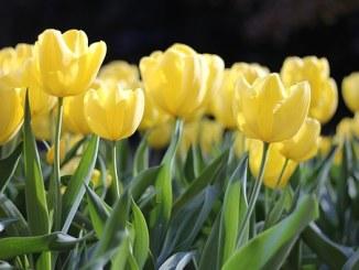 tulips-1083572__340[1]