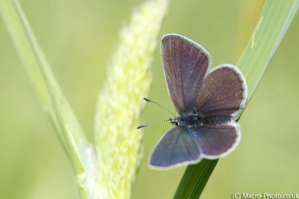 Small Blue Displaying Wings.