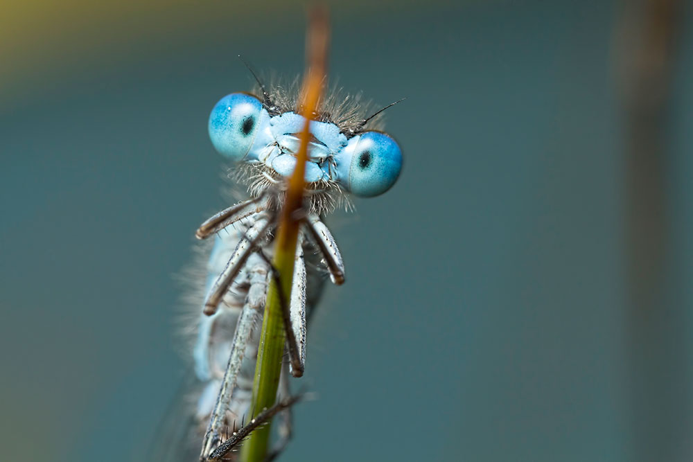 Damselfly Portraits 2015