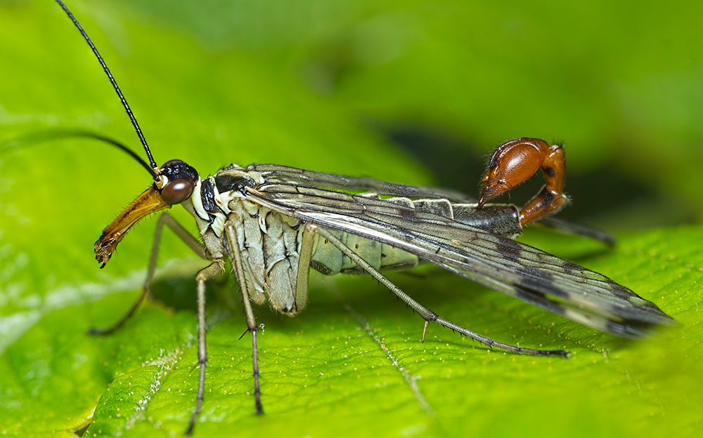 PanoStack of Scorpion Fly